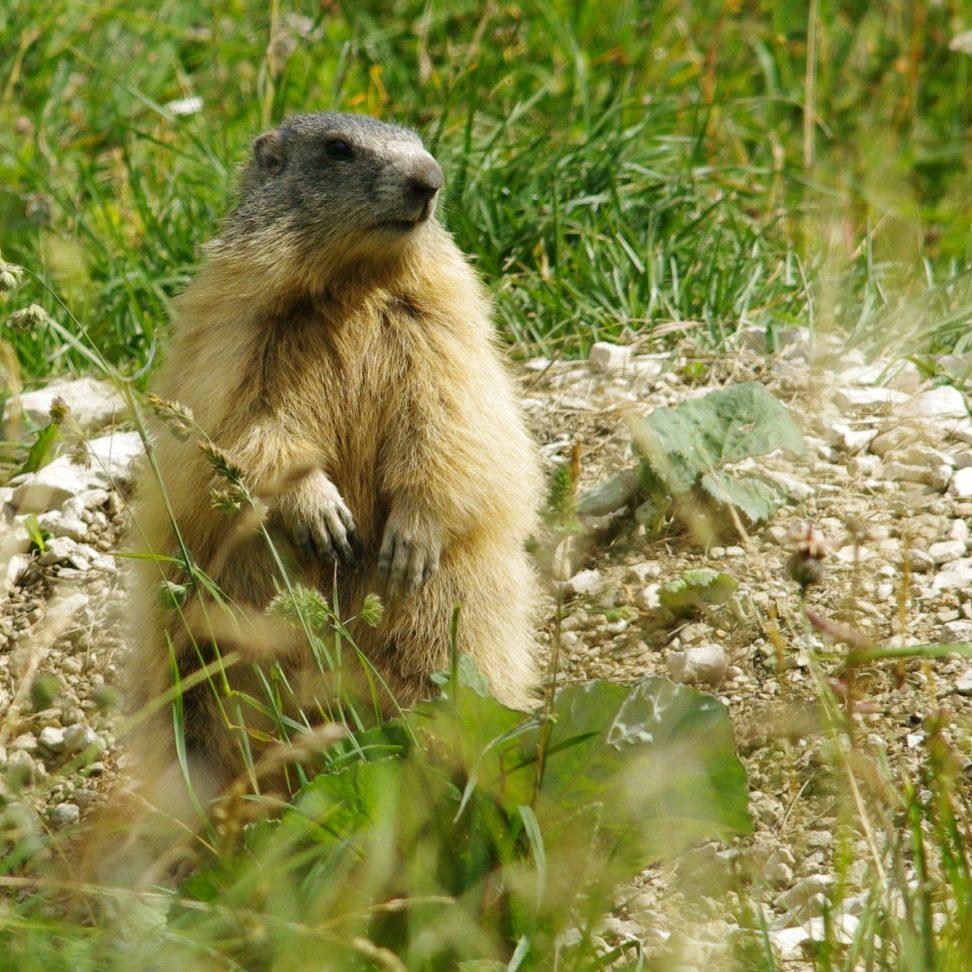 marmottes en famille